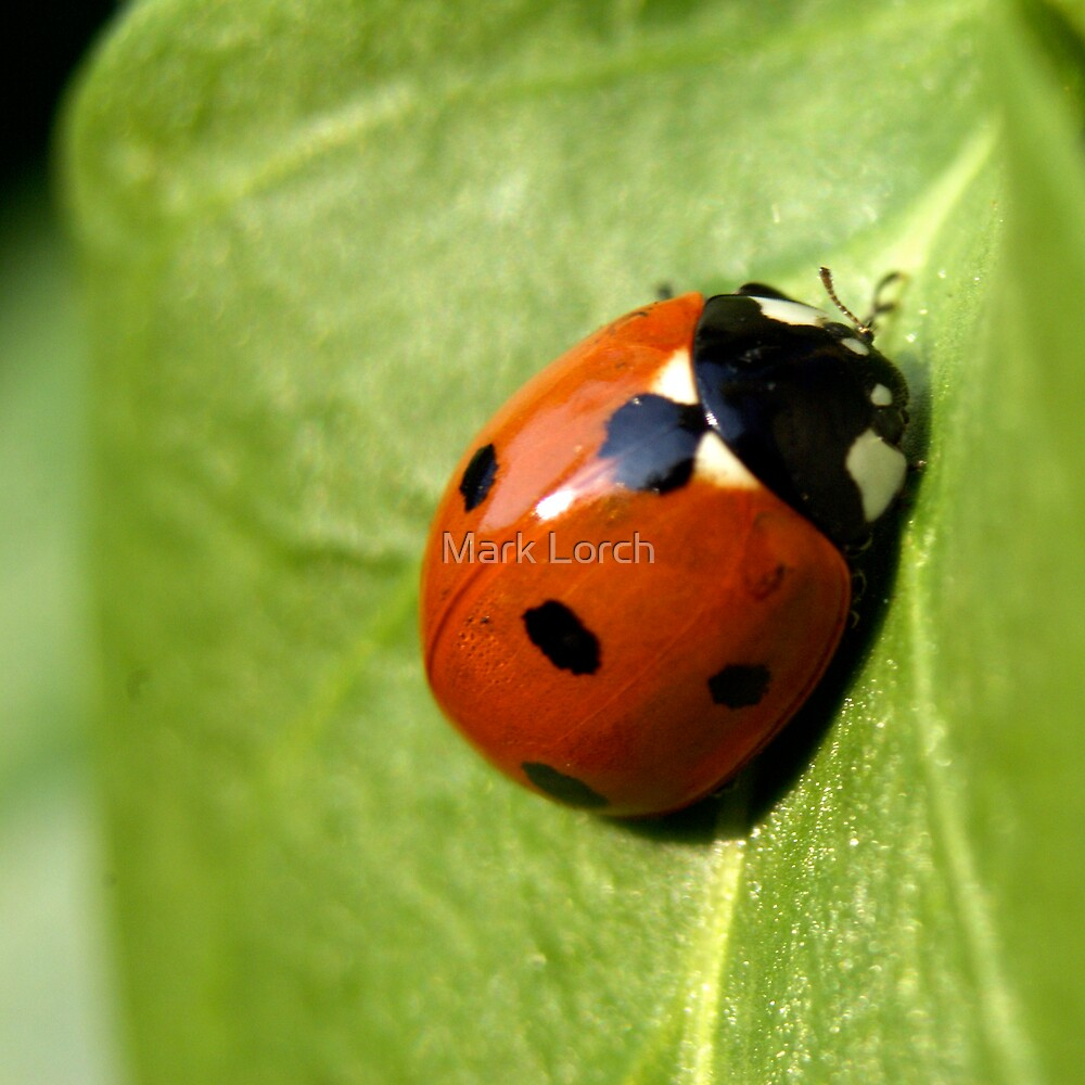 Ladybird by Mark Lorch