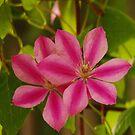 Pink blossoms by Bluesrose