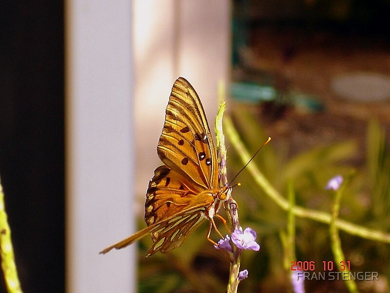 MY BUTTERFLY  by FRAN STENGER