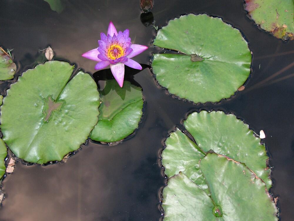 purple lily pad by Brynne Kaufmann