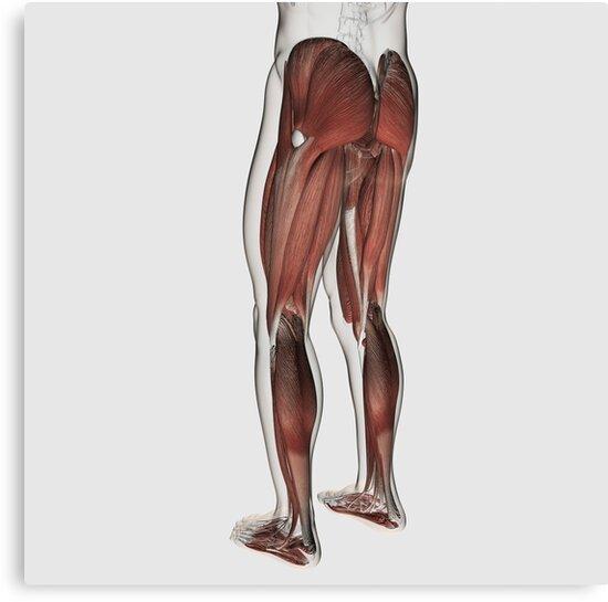 Lienzos «Anatomía del músculo masculino de las piernas humanas ...