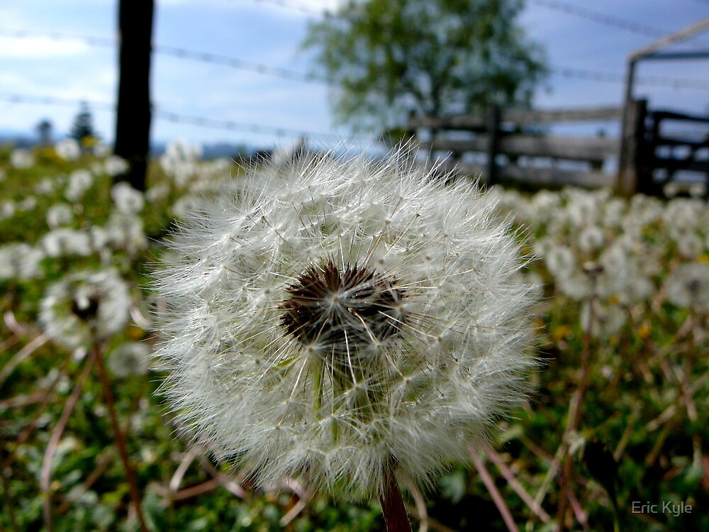 Dandelions 1 by Eric Kyle