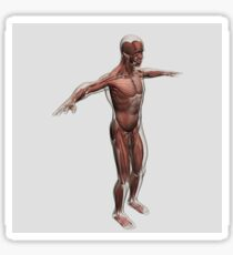 Anatomy of male muscular system, side view. Sticker