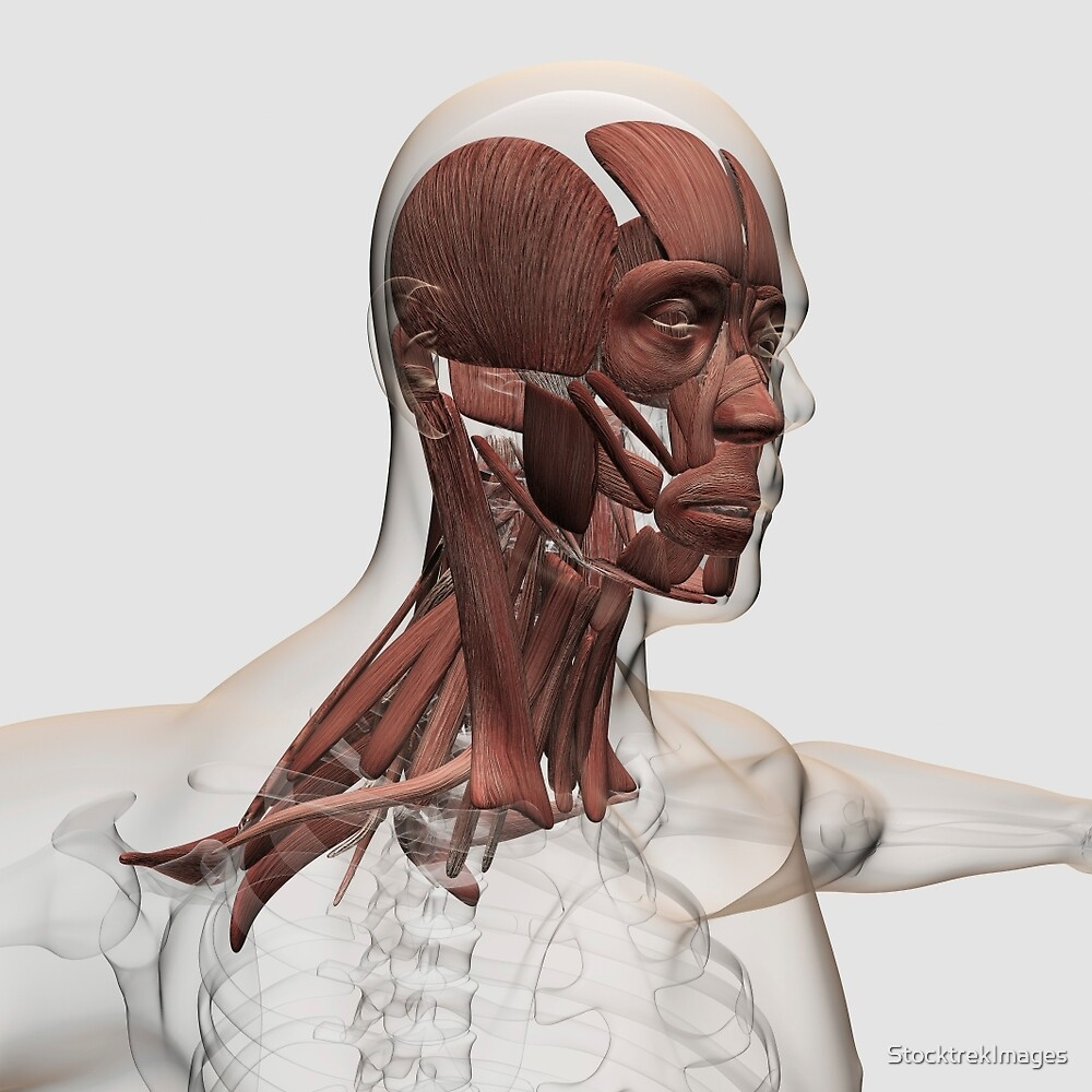 Anatomy Of Male Facial And Neck Muscles Front View By