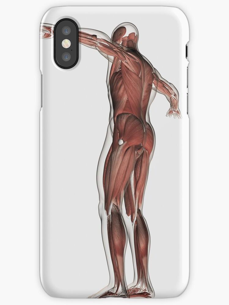 Vinilos y fundas para iPhone «Anatomía del sistema muscular ...
