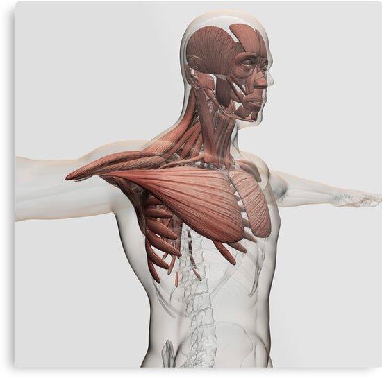 Lienzos metálicos «Anatomía de los músculos masculinos en la parte ...
