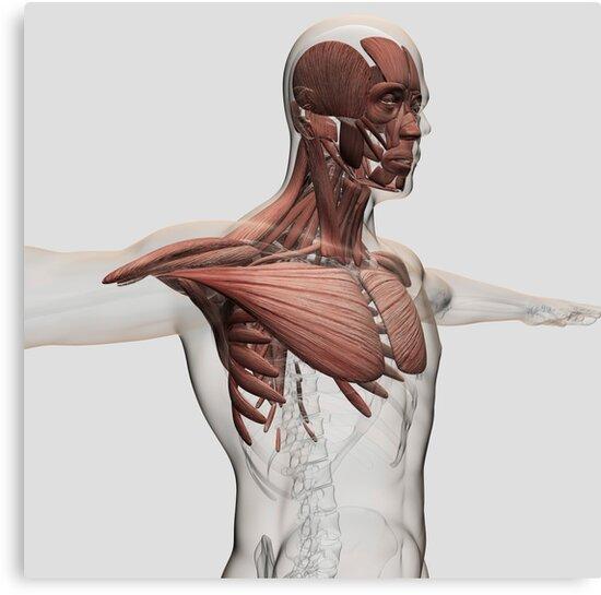 Lienzos «Anatomía de los músculos masculinos en la parte superior ...