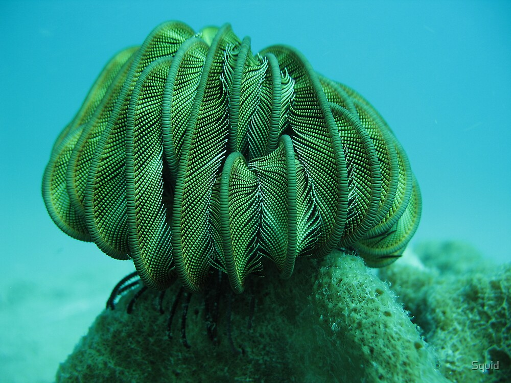 Sleeping Feather Star by Squid