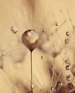 Dandelion - touch of gold by Ingrid Beddoes