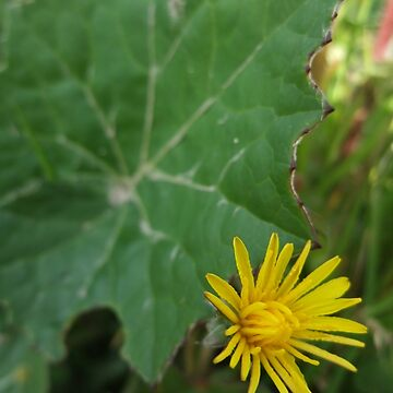 Coltsfoot by IOMWildFlowers