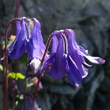 Common Columbine by IOMWildFlowers