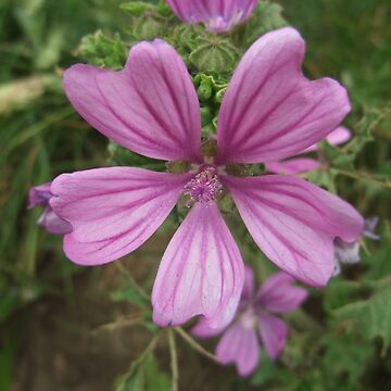 Common mallow by IOMWildFlowers