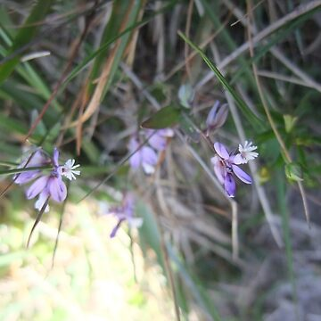 Common milkwort by IOMWildFlowers