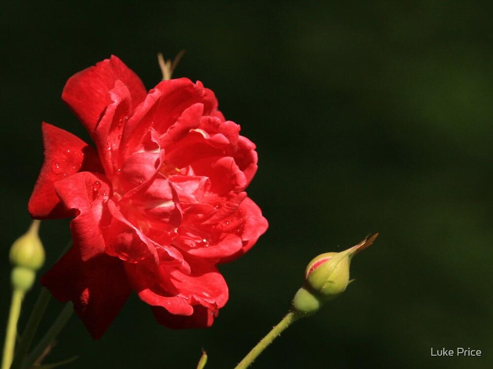 Red Rose by Luke Price