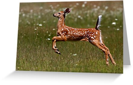 Summer Fawn - White-tailed Deer by Jim Cumming