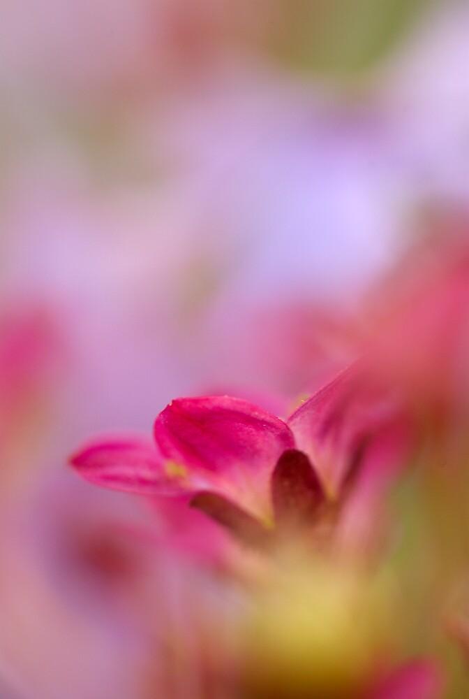 Red Petal by jayobrien