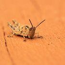 Chorthippus brunneus by camerahappy