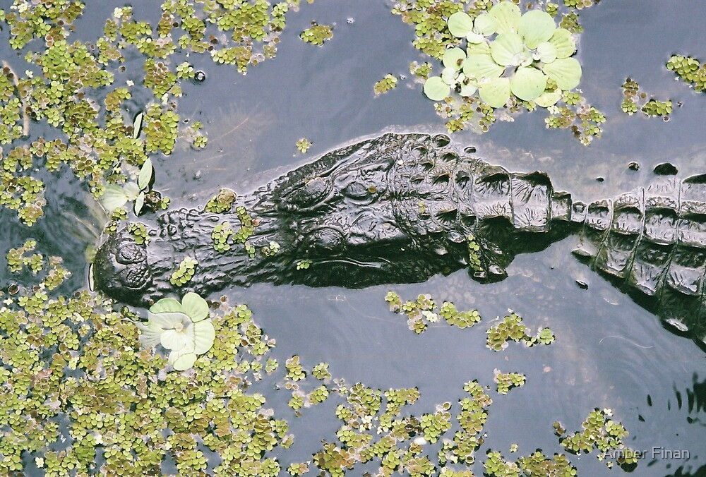 Alligators  by Amber Finan