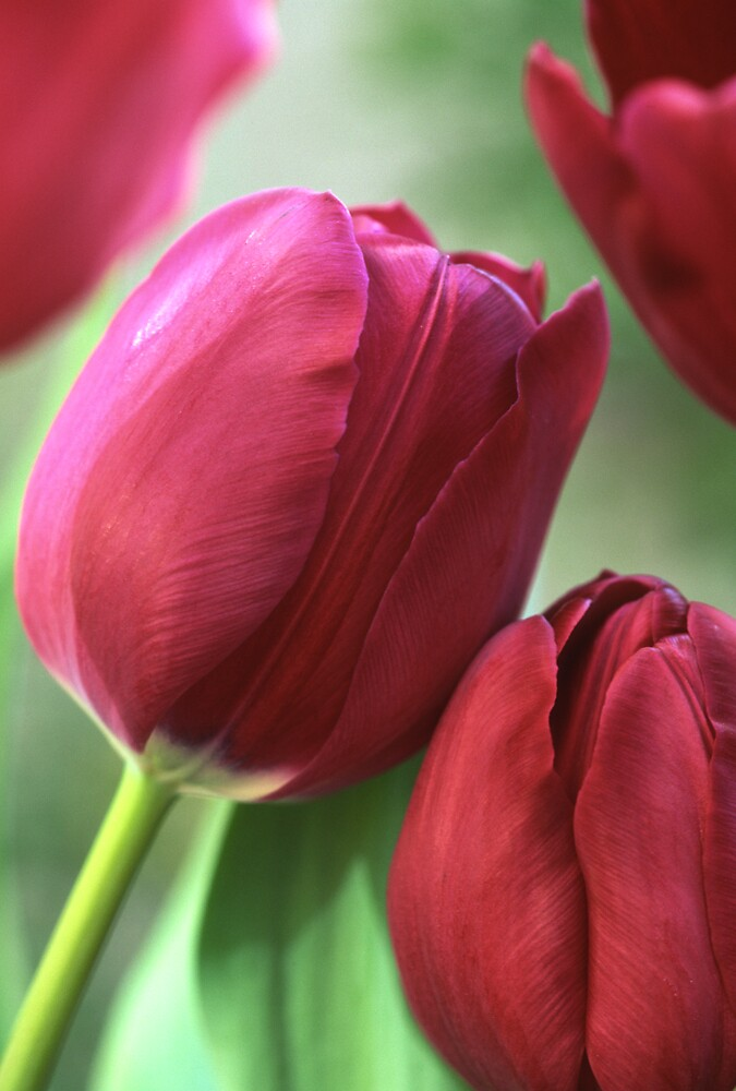 Kissing tulips by jayobrien