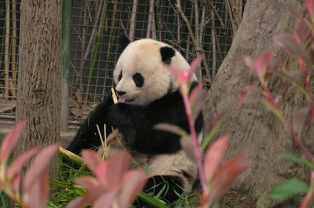 Panda eating bamboo by Kerri Kenel