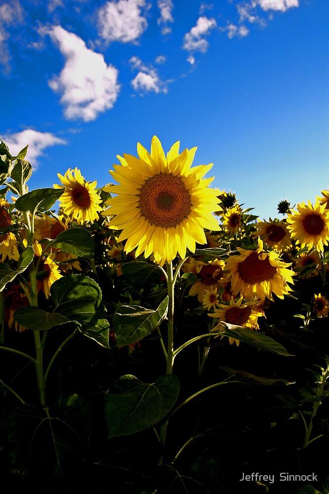 Lone sunflower by Jeffrey  Sinnock