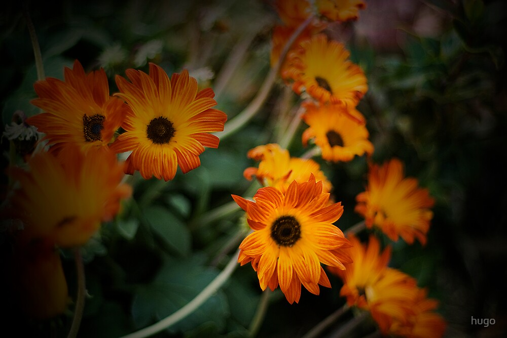 Daisys, Daisys, Daisys, Daisys by hugo