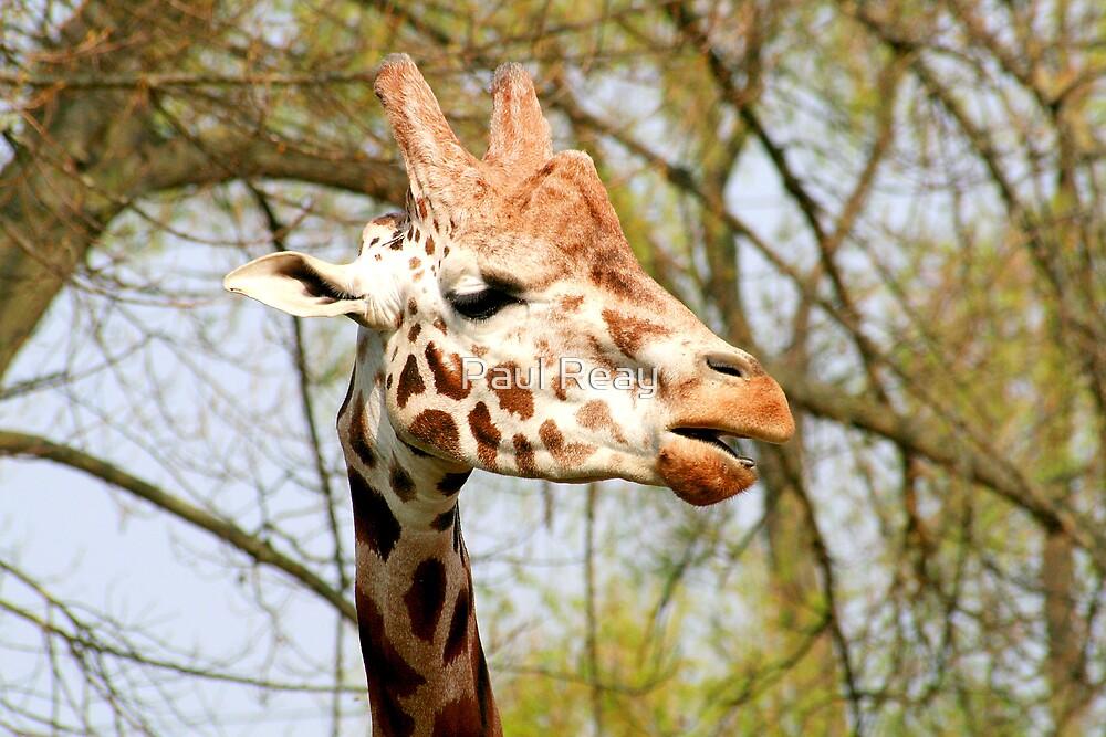 Giraffe portrait by Paul Reay