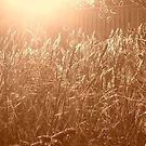 golden light by minau