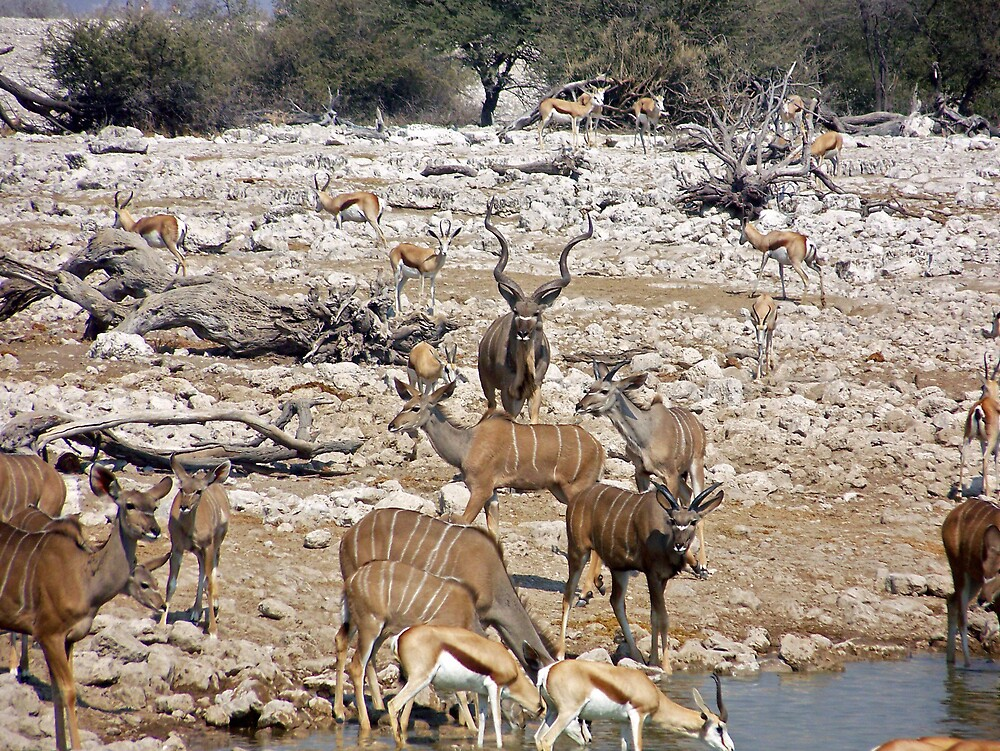 Male and Female Kudu by a waterhole by tj107