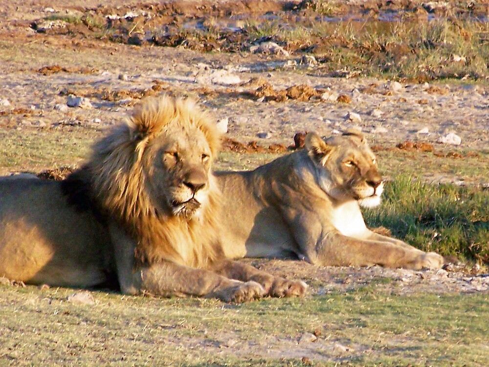 Lion and Lioness staring into the distance by tj107