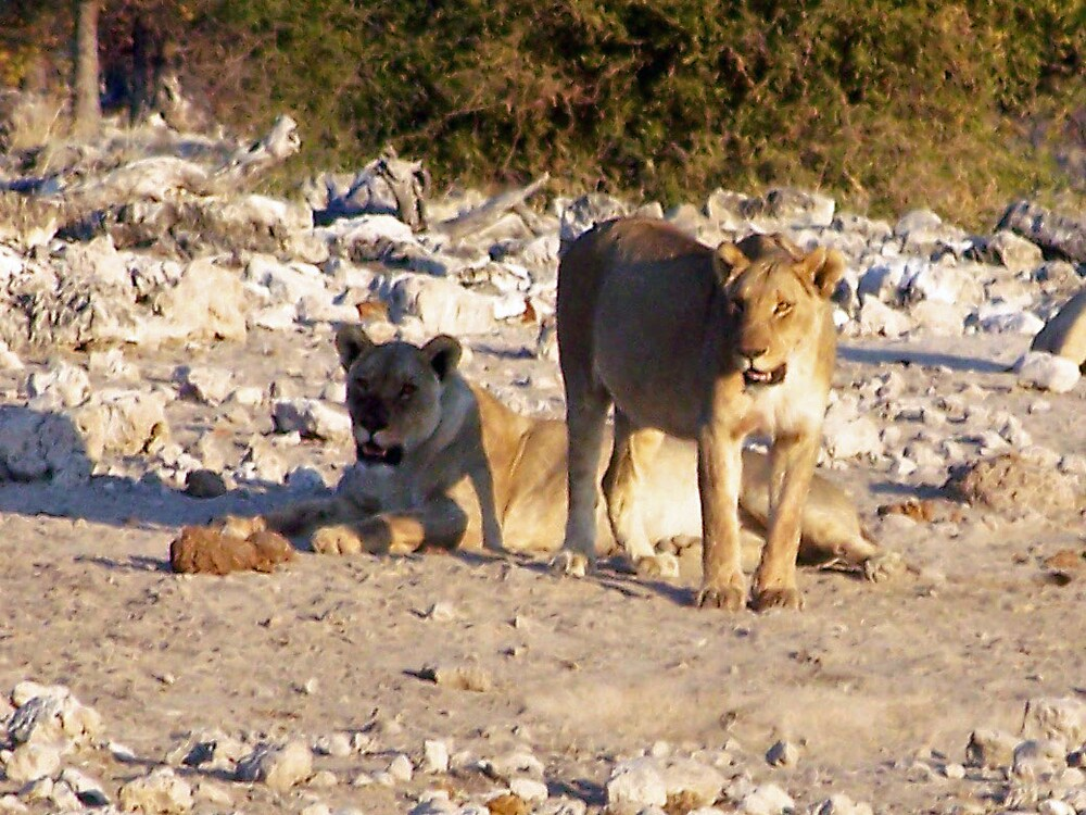 Lioness's by tj107