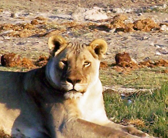 Lioness staring at me! by tj107