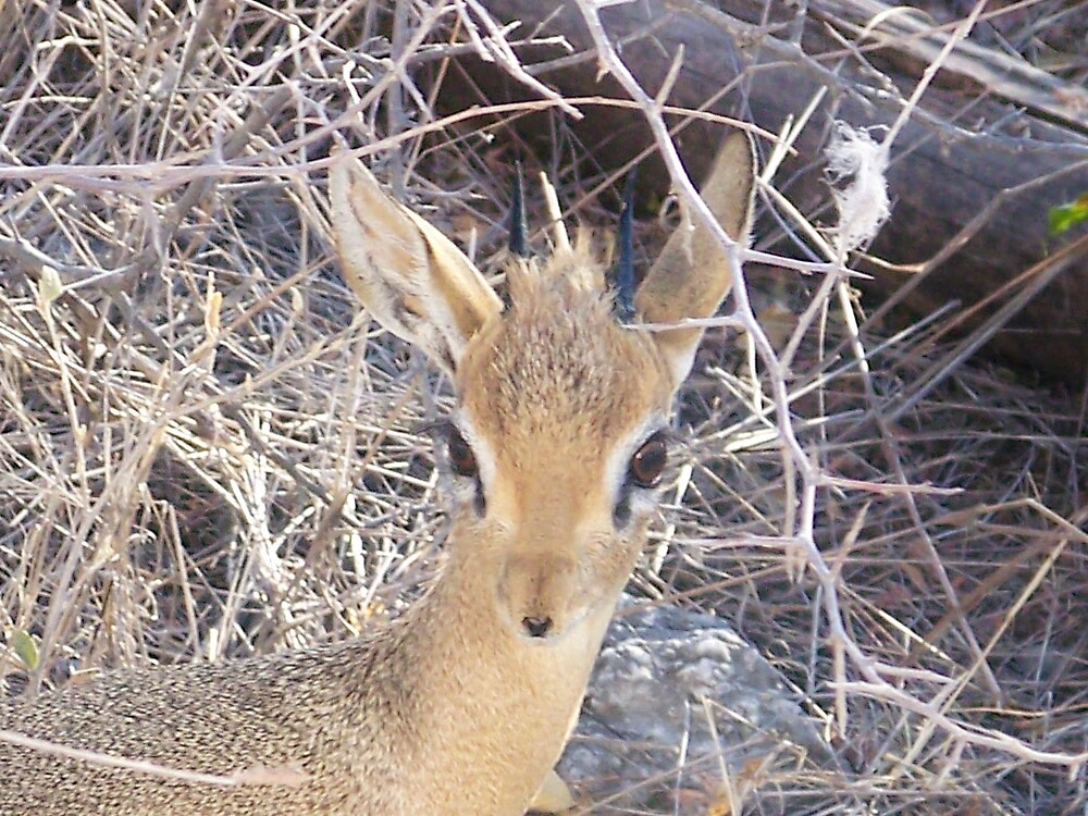Damara Dik-Dik by tj107