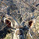 Kudu Face by tj107