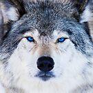 Blue Eyed Wolf by MIRCEA COSTINA