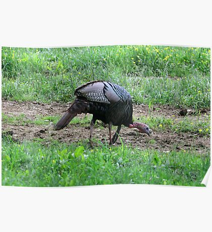 Eastern Wild Turkey Poster