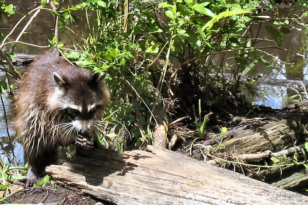 Raccoon by philwells