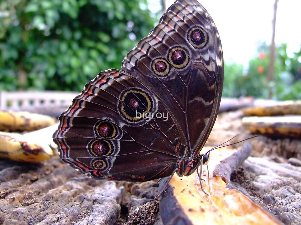 Butterfly by bigroy