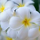 Plumeria by Tracy Riddell
