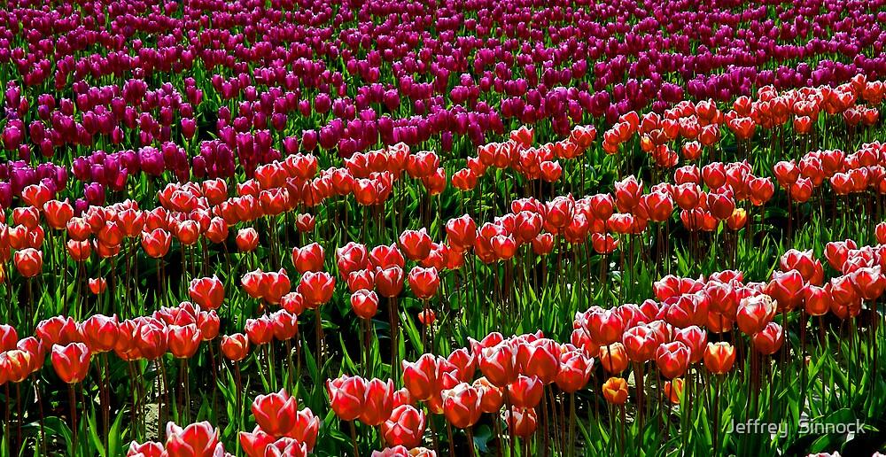 Two tone Tulips by Jeffrey  Sinnock