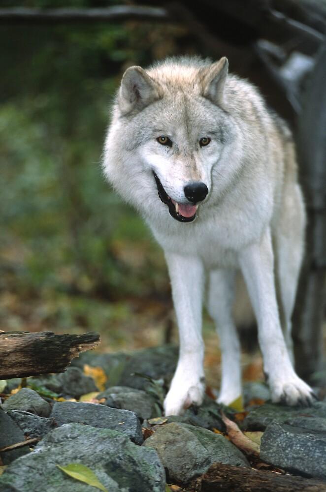 The Wolf by jayobrien
