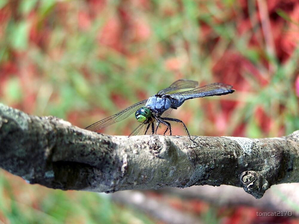 blue dragonfly by tomcat2170