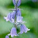 Bluebells in a painterly style by Celeste Mookherjee