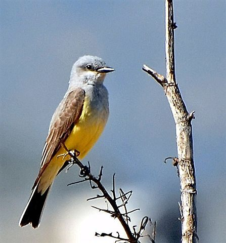 Bird on a Twig by raptrlvr