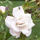 Roses in White by Mojha Renee MacDowell