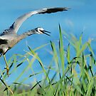 white-faced heron landing by nadine henley