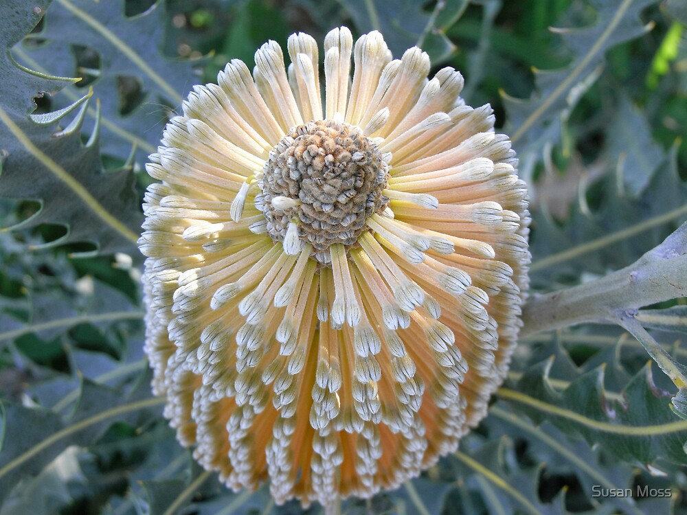 Banksia beauty by Susan Moss