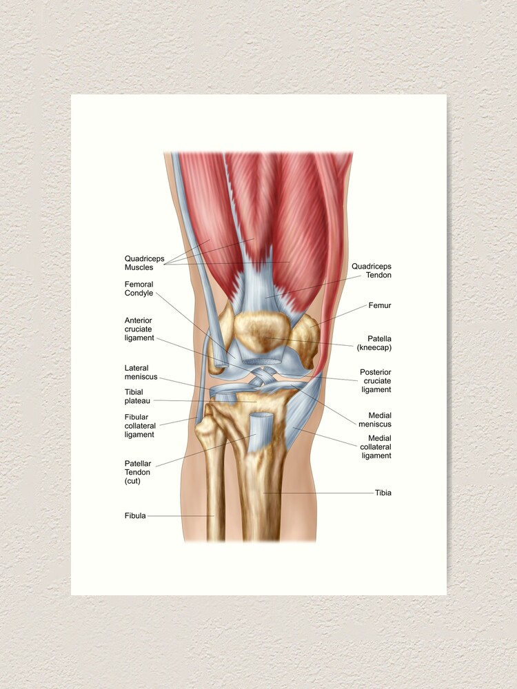 Anatomy of knee joint.   Art Print on hinge joint, synovial joint, anterior cruciate ligament injury, knee osteoarthritis, medial meniscus, posterior cruciate ligament, knee pain, medial collateral ligament, sacroiliac joint, anterior cruciate ligament,