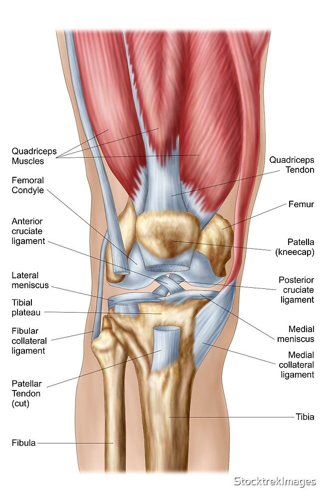 Anatomy of human knee joint.\