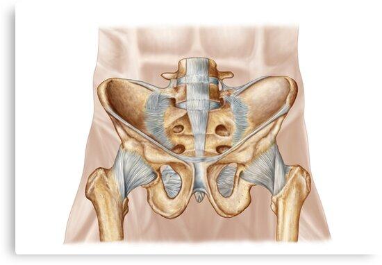 Lienzos «Anatomía del hueso pélvico humano y ligamentos.» de ...